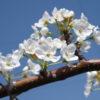 【梨の人工授粉について】開花時期に注意する病害虫と受粉作業の時間帯